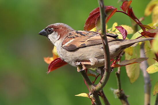 House Sparrow in the Rose Bush by kitlew