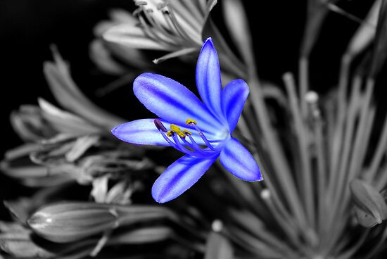 Agapanthus by Kerry  Hill