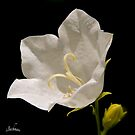 A white flower for a wedding ! by siggabach