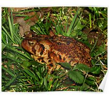 A Closeup of an American Toad Poster