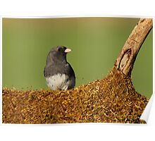 Junco on Mossy Log Poster