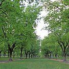 Pecan Trees  by RebeccaBlackman