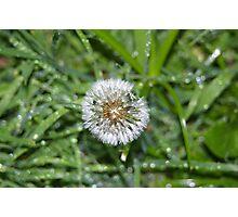 raindrops on a dandilion Photographic Print