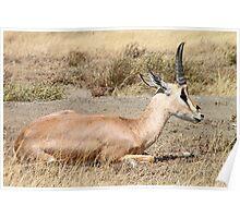 Grant's Gazelle, Serengeti, Tanzania Poster