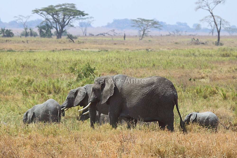 African Elephants, Serengeti, Tanzania.  by Carole-Anne
