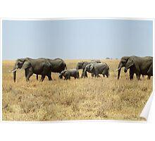 African Elephants, Serengeti, Tanzania  Poster