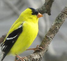 The American Goldfinch by lorilee