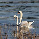 Swans of the Medway II by Crin