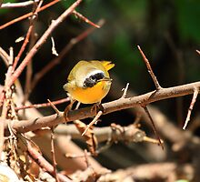 Masked Yellowthroat by pmarella