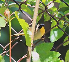 Masked Yellowthroat  by pmarella