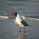 Laughing Gull, South Carolina by mklue