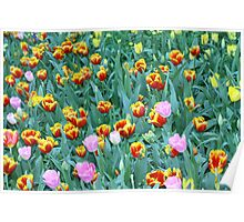 Tulips in Australia Poster