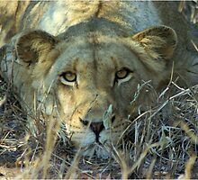 """Intense"" - lioness (Panthera leo) - Thornybush game reserve  - SA by Sandy Beaton"