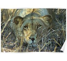 """Intense"" - lioness (Panthera leo) - Thornybush game reserve  - SA Poster"
