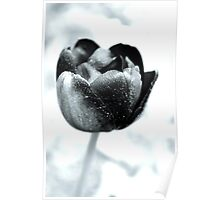 Tulip Tenderness Poster