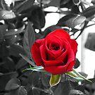 Miniature Rose Bud - Mother's Day by Glenn Cecero