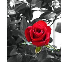 Miniature Rose Bud - Mother's Day Photographic Print