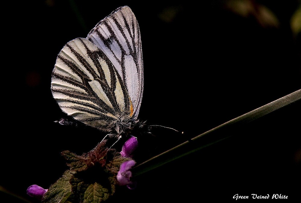The Green Veined White by snapdecisions