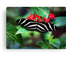 Zebra Longwing on Red Canvas Print