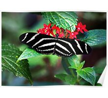 Zebra Longwing on Red Poster
