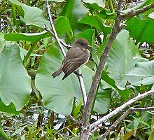 Eastern Phoebe Flycatcher - Sayornis phoebe by MotherNature