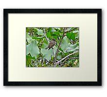 Eastern Phoebe Flycatcher - Sayornis phoebe Framed Print
