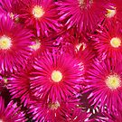 Erigeron - Daisies Bodega Bay  by MindyLinford