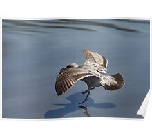 Seagull Landing on Doran Beach Poster