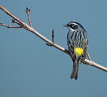 Yellow-rumped Warbler by Wayne Wood