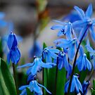 Blue Bells by Diane Blastorah