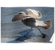 Seagull Walking on Doran Beach Poster
