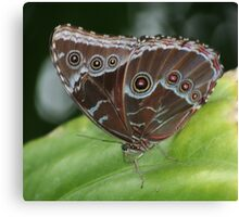 Common Morpho Butterfly Canvas Print