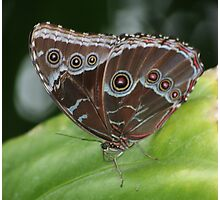 Common Morpho Butterfly Photographic Print