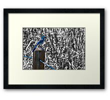 Scrub Jay II Framed Print