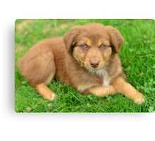 Red Tri Australian Shepherd Puppy - Aussie Canvas Print