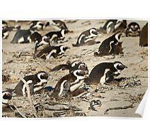 Boulders penguins Poster