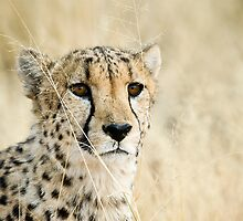 Cheetah I by Andy-Kim Möller