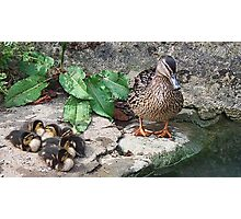 New  Mum With Her Ducklings Photographic Print