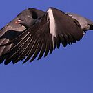 The Wood Pigeon by snapdecisions