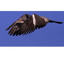 The Wood Pigeon Photographic Print