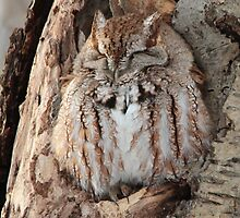 Sleepy Screech Owl by hummingbirds