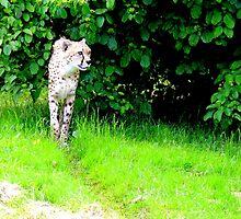 Slim Cheetah by Barnbk02