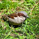 Small sparrow in the grass by Dfilyagin