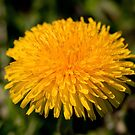 Yellow dandelion by Dfilyagin