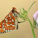 Euphydryas butterfly by jimmy hoffman