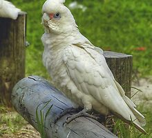 the corella by ralphyboy
