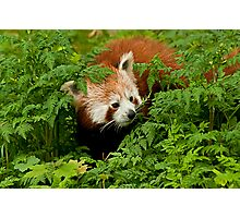 Red Panda in the Undergrowth Photographic Print
