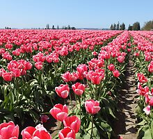 Tulip Field by Janine Graf