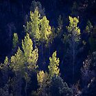 Sunlight trees, along Highway 88 in California by SolanoPhoto