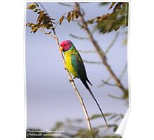 Plum-headed Parakeet Poster